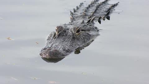 large american alligator swimming in a lake