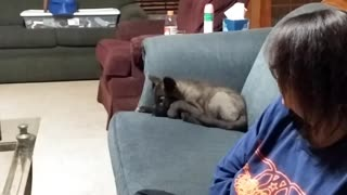 Wolfdog pup thinks he's a cat