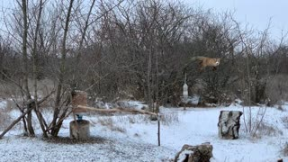 Fox Caught Red Handed Stealing Bird Snacks