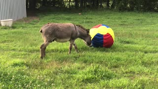 Donkey Bewildered by New Ball