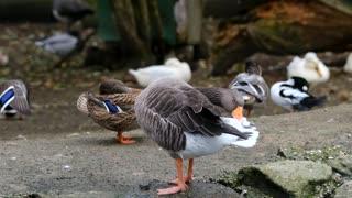 Goose Greylags
