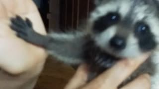 Baby raccoon adorably gives his owner a high-five