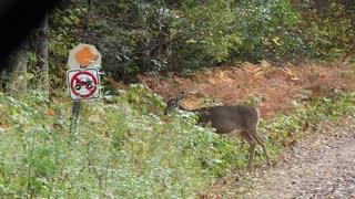 Wisconsin White Tail Deer (Doe) Grazing