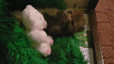 Baby fox playtime