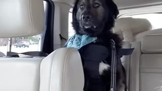 Service dog tries not to fall asleep while on the job