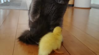 A little duck is trying to make a friend