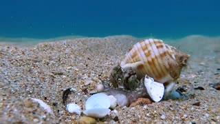 Baby Octopus Makes Home out of Shell