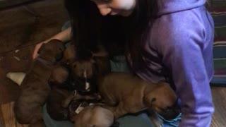 Phoenix Ridge Boxer Puppies