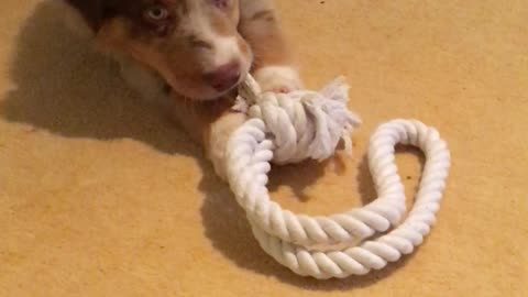 Playful puppy chews on a rope with his tiny teeth