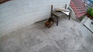 Pomeranian puppy pooping cute 💩