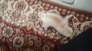 Dog loves falling a sleep biting his leg