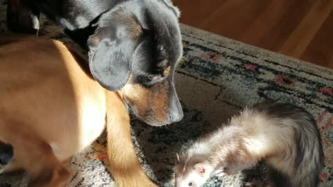 Dogs and the ferret