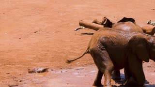 Funny Video Baby Elephants Playing In The Mud