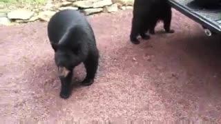 Bears feeding