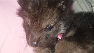 Adorable howling wolfdog puppy sings his heart out