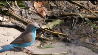Beautiful Blue Bird Corner - Blue Capped Cordon Bleu