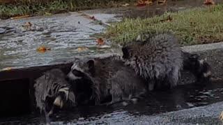My raccoon family - playing in the rain