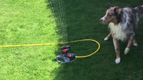 Cute dog fights the lawn sprinkler