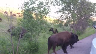 Buffalo Herd close to our truck in Custer State Park in South Dakota