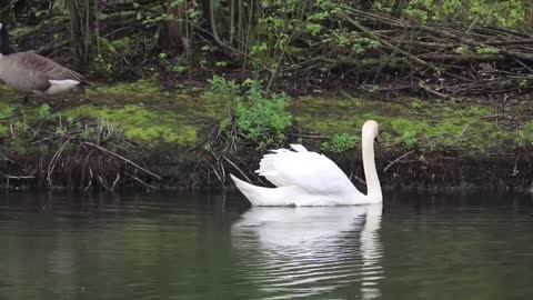 Swans enjoy swimming in the pond