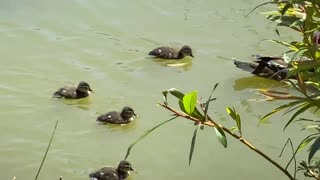 Turtle swimming, mama with 4 ducklings swimming