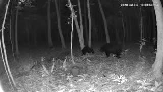 Big pappa black bear