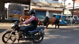 Funny Animal Act   Bull Fight