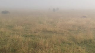 Bison Bellows in the Mist