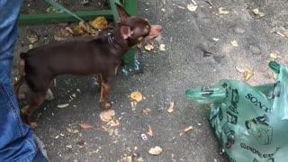 toy terrier dog