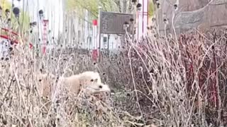 Smart Dog Video 2021 white dog humanity lover pets