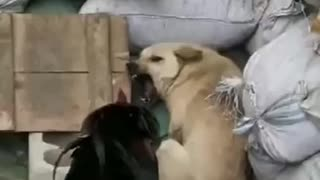 Crazy chicken fighting with a dog