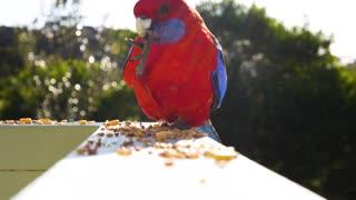 beautiful parrot eating