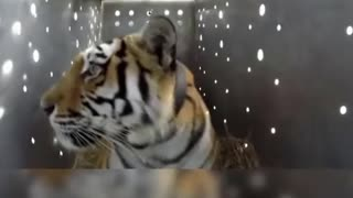 Tigress Amur rescued and released on World Tiger Day