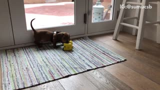 Puppy dachshund play fights with giraffe toy on multicolor rug