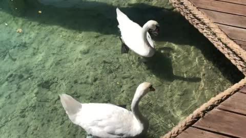 Swans seeking food