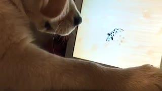 Golden Retriever puppy plays game on iPad