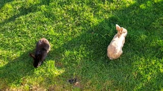 Two beautiful rabbits of different colors eating in front of me