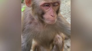 tired monkey