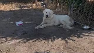 People Catch Stray Great Pyrenees Dog After Months Of Trying
