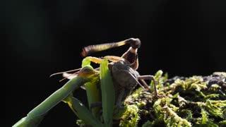 Wasp Annoying Praying Mantis While Eating in 4K