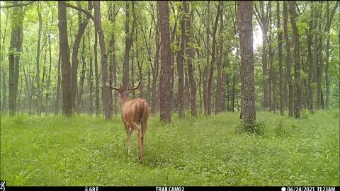 Buck in walnut field
