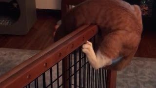 Orange cat trying to climb over fence in house