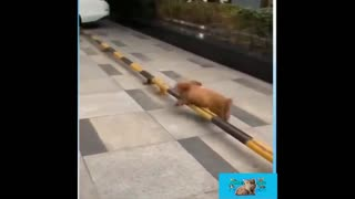 A dog who jumps barriers in a great way