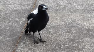 Singing Magpie Makes Sweet Sounds
