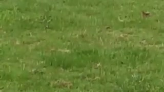 Little Girl Gets Taken Out By Little Dog