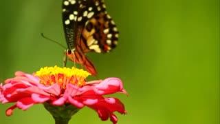 The beautiful butterfly eats flowers
