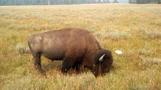 Wild Buffalo nature