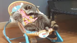 Pet raccoon dozes off in baby swing