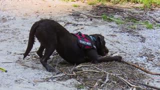 Brave Dog swimming