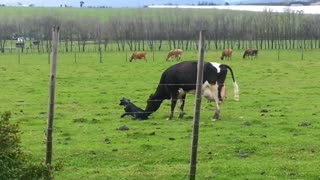 Loving mother cow encourages her baby to take its first steps